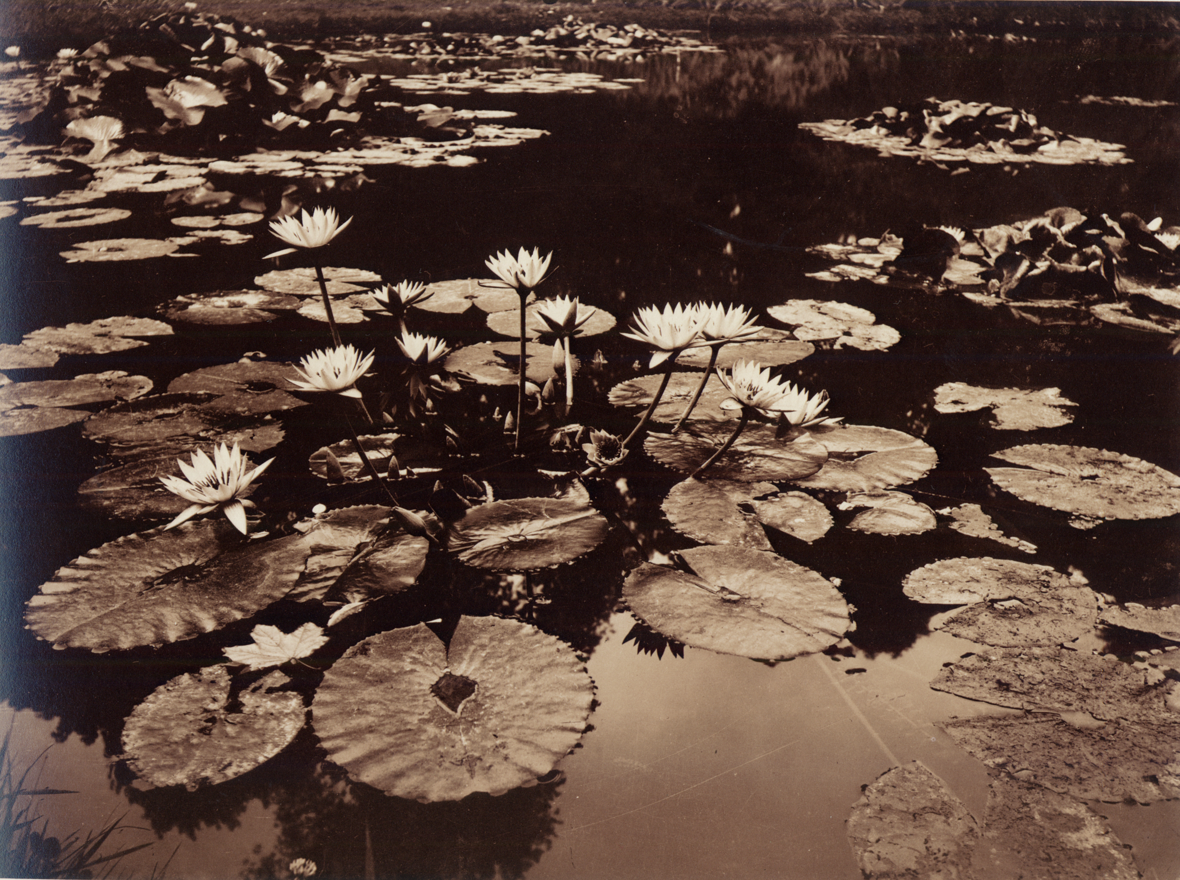 While Claude Monet painted water lilies, Eugène Atget photographed them. Different ones, of course—these 'Nymphaeas, Versailles' lived far from Monet's pond, around 1910, and Atget captured their nature: borne by water, fired by the sun. (Collection of Michael Mattis and Judith Hochberg)